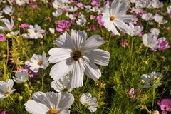 Cosmea, or Cosmos lat. Cósmos is a genus of annual and perennial herbaceous plants of the Aster family, or Compositae. Asteraceae. Large field with flowers stock photos