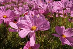 Cosmea, or Cosmos lat. Cósmos is a genus of annual and perennial herbaceous plants of the Aster family, or Compositae. Asteraceae. Large field with flowers stock photo