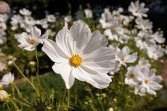 Cosmea, or Cosmos lat. Cósmos is a genus of annual and perennial herbaceous plants of the Aster family, or Compositae. Asteraceae. Large field with flowers royalty free stock photo