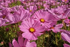 Cosmea, or Cosmos lat. Cósmos is a genus of annual and perennial herbaceous plants of the Aster family, or Compositae. Asteraceae. Large field with flowers royalty free stock images