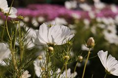 Cosmea, or Cosmos lat. Cósmos is a genus of annual and perennial herbaceous plants of the Aster family, or Compositae. Asteraceae. Large field with flowers royalty free stock image