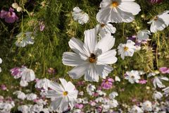 Cosmea, or Cosmos lat. Cósmos is a genus of annual and perennial herbaceous plants of the Aster family, or Compositae. Asteraceae. Large field with flowers stock images