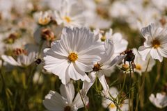 Cosmea, or Cosmos lat. Cósmos is a genus of annual and perennial herbaceous plants of the Aster family, or Compositae. Asteraceae. Large field with flowers royalty free stock photography