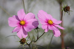 Cosmea  cosmos Royalty Free Stock Images