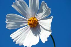 Cosmea flower. royalty free stock photo