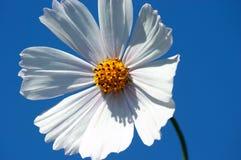 Cosmea flower. Royalty Free Stock Photo