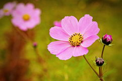 Cosmea flower. Summer background Stock Images