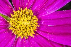 Cosmea flower Stock Photography