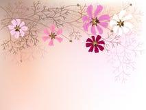 Cosmea flowers Stock Image