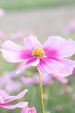 Cosmea flowers Royalty Free Stock Photos
