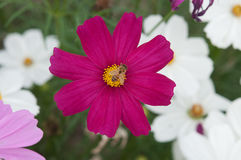 Cosmea flowers Stock Photo