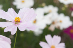 Cosmea flowers Royalty Free Stock Photography