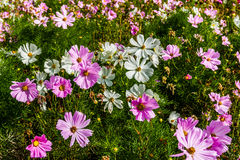 Cosmea flowers Royalty Free Stock Images