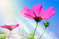 Cosmea flowers. Stock Image