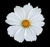 cosmea isolerad white Royaltyfria Bilder
