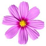Cosmea rosado Rose. Flor hermosa del cosmos aislada Imagen de archivo libre de regalías