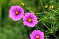 Cosmee Ogrodowy kwiat Zdjęcie Stock