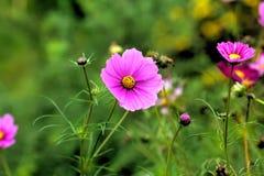 Cosmee Trädgårds- blomma Arkivbild