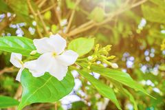 Cosmetic Bark Tree or Inda, Orange Jessamine, Satin-wood, white flower beautiful. Selective focus Scientific name Wrightia antidysenterica R. Br stock images