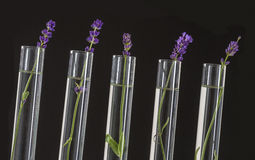 Cosmetology lab - Flowers of lavender in test tubes Stock Photos