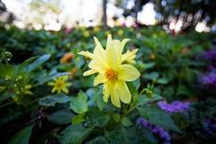 Cosmia jaune dans le parterre Photos libres de droits