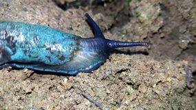 Cosmic blue slug. Slugs.Snails without chitin. Free or homeless? Maybe, they just want to share their beauty with everyone royalty free stock image