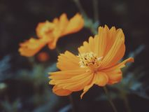 Cosmic Touch. A cosmos flower with moody colors to express the cosmic feels stock images
