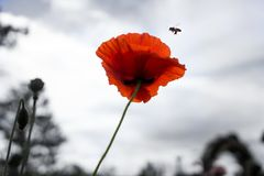 Cosmo and a bee. Beautiful cosmo flowers at Dalat, Vietnam Royalty Free Stock Photography