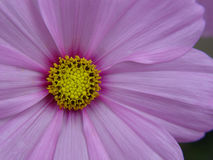 Cosmo Flower. Closeup and detailed Stock Image