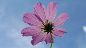 Cosmo Flower against the sky stock footage
