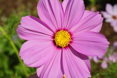 A top view, macro close up of a purple cosmos flower in bloom. royalty free stock photo