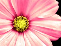 Free Cosmo Flower Taken Closeup Stock Photos - 2395683