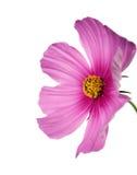 Cosmo rose/pourpré d'isolement sur le blanc Photo libre de droits