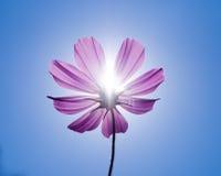 Cosmo sotto sole e cielo blu Fotografia Stock