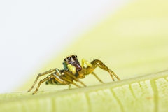 Cosmophasis umbratica jumping spider Stock Images