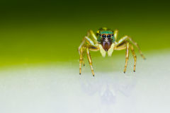 Cosmophasis umbratica jumping spider Stock Image