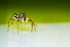 Cosmophasis umbratica jumping spider Royalty Free Stock Photography