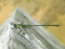 Cosmopolitan Damselfly. Closeup of Lestes viridis, a cosmopolitan damselfly commonly known as western willow spreadwing Stock Photos