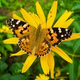 Cosmopolitan on Orange Coneflower. Painted Lady - Vanessa Cardui butterfly on Rudbeckia Fulgida flower in sunny summer day. Photo in square 1:1 format Royalty Free Stock Image
