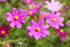 Cosmos. Pink cosmos flowers are in full bloom Stock Image