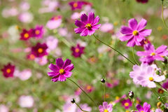 Cosmos. Pink cosmos flowers are in full bloom Royalty Free Stock Image