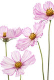 Cosmos Royalty Free Stock Photography