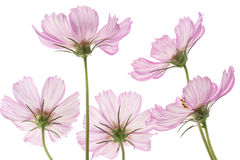 Cosmos Royalty Free Stock Photos