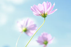 Cosmos Stock Photos