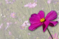 Cosmos. Pink Cosmos flower on washed out background of a field of flowers Royalty Free Stock Photography