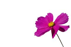 Cosmos Royalty Free Stock Photo