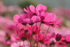 Cosmos. Beautiful cosmos in the wild Royalty Free Stock Images