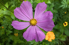 cosmos Photographie stock
