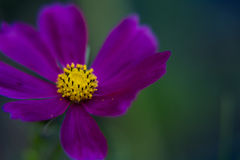 cosmos Photo stock