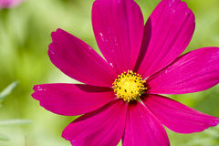 Cosmos Royalty Free Stock Image